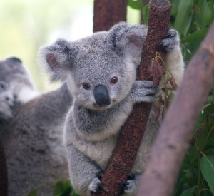 Cutest Koala from Wikimedia Commons, the free media repository