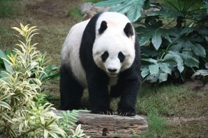 Giant Panda Photo by: J. Patrick Fisher on Wikipedia Commons