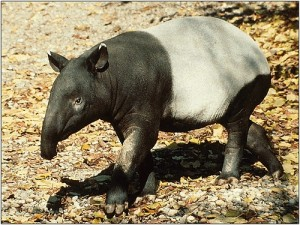 Tapirs can be found in Brazil